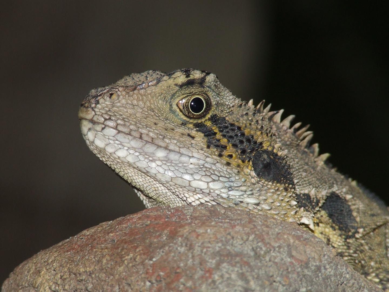 K Dragon Lizard Australian Wate...