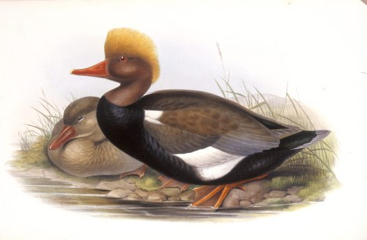 Red-crested Duck