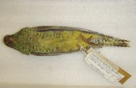 Night Parrot ventral view