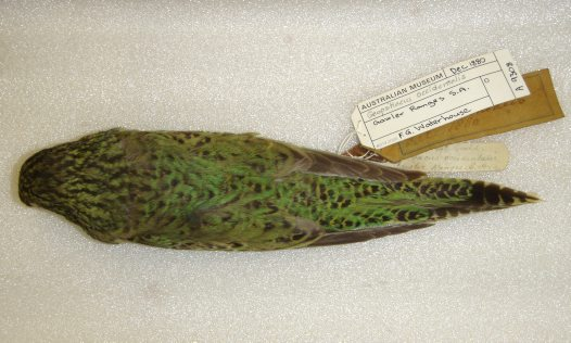 Night Parrot dorsal view