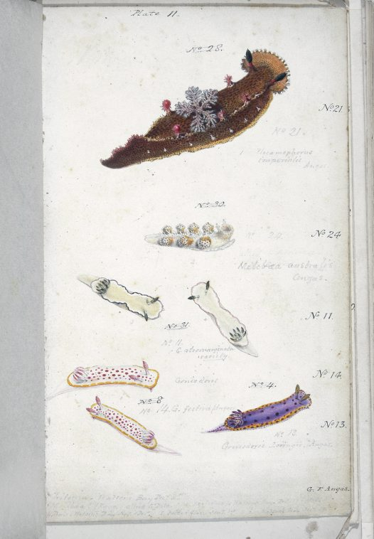 Nudibranches of Port Jackson by George French Angas. Plate 11