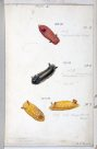 Nudibranches of Port Jackson by George French Angas. Plate 4