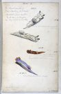 Nudibranches of Port Jackson by George French Angas. Plate 1
