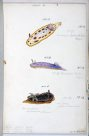 Nudibranches of Port Jackson by George French Angas. Plate 2
