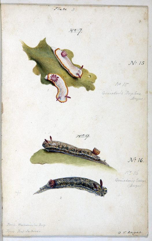 Nudibranches of Port Jackson by George French Angas. Plate 3