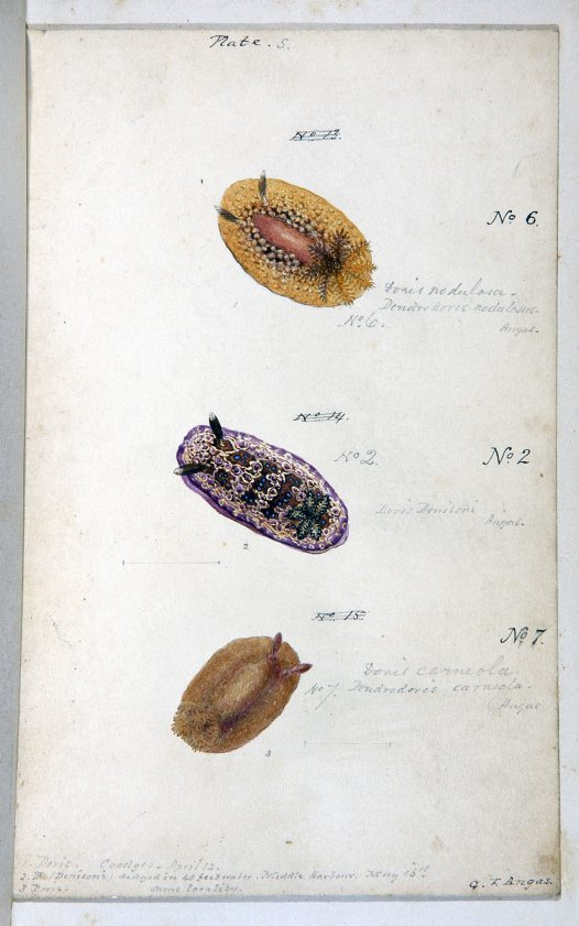 Nudibranches of Port Jackson by George French Angas. Plate 5