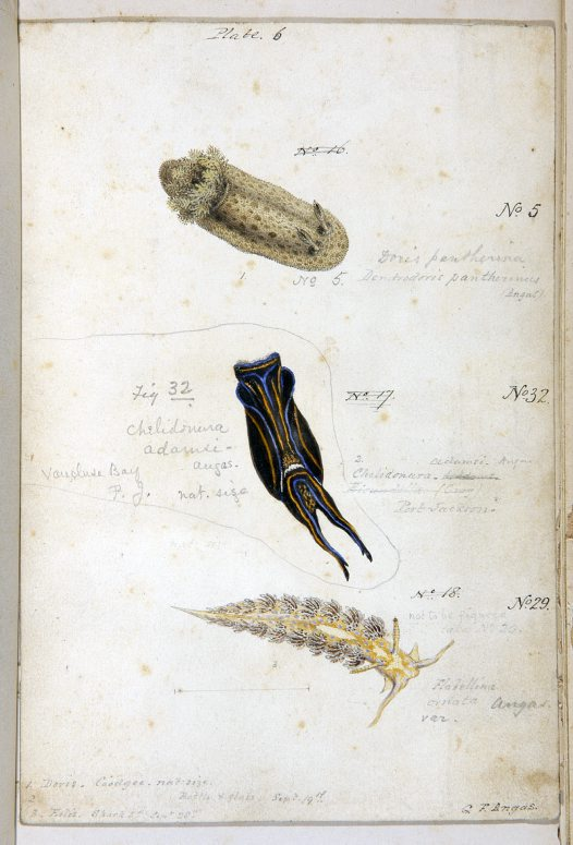 Nudibranches of Port Jackson by George French Angas. Plate 6.