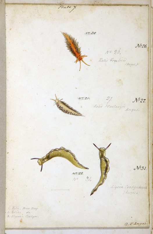 Nudibranches of Port Jackson by George French Angas. Plate 7.