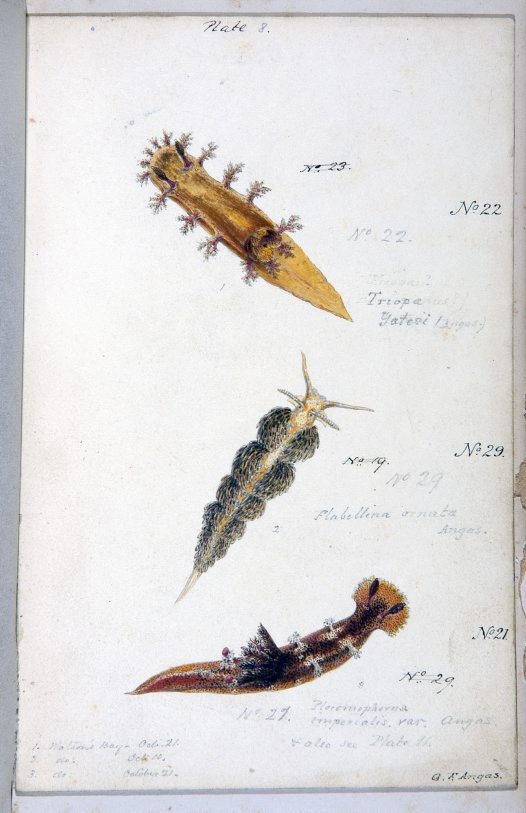 Nudibranches of Port Jackson by George French Angas. Plate 8