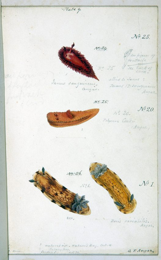Nudibranches of Port Jackson by George French Angas. Plate 9