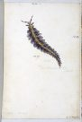 Nudibranches of Port Jackson by George French Angas. Plate 10