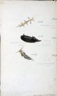 Nudibranches of Port Jackson by George French Angas. Plate 12