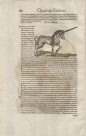 Unicorn from Icones Animalium