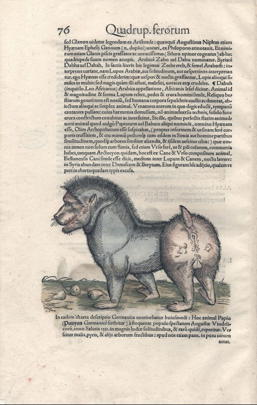 Baboon from Icones Animalium