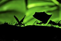 Leaf-cutter ants at work - Michael Jensen