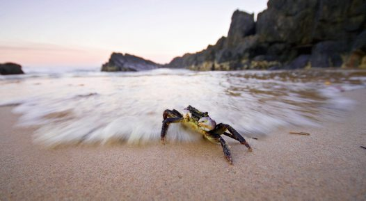 Swift-footed Crab - Jonathon Winnel