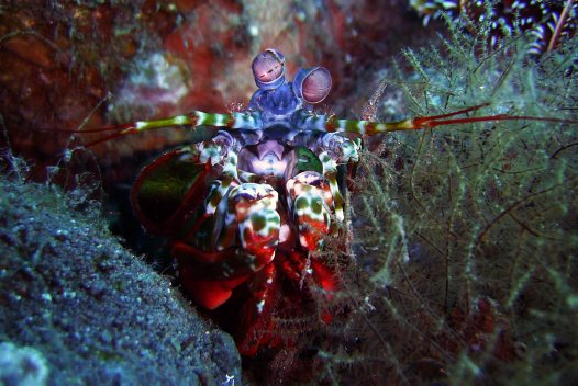 Mantis Shrimp - Juliette Myers