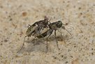 Mating tiger beetles - Bruce Gimber