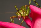 Female Spotted Katydid Nymph - Paul Farley