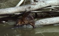 Common Water-rat