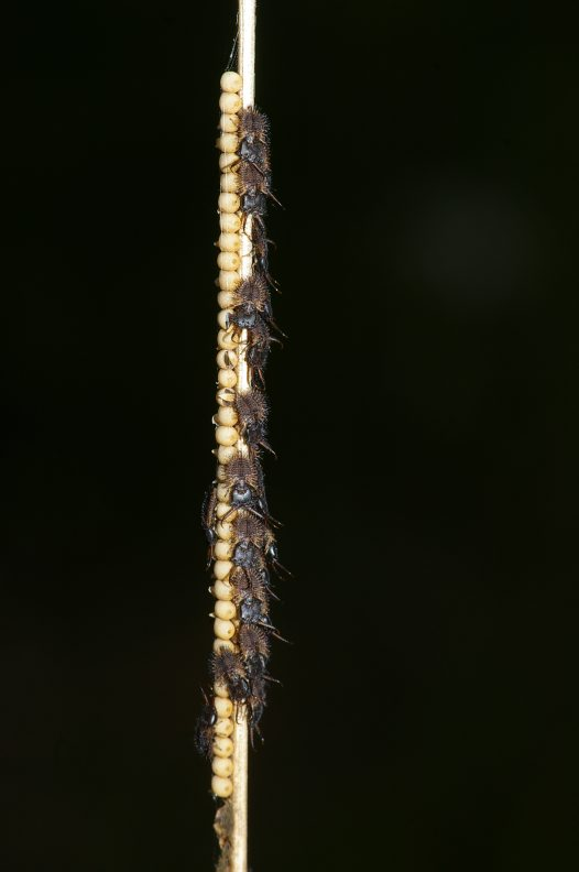 Owlfly first instar larvae and egg mass