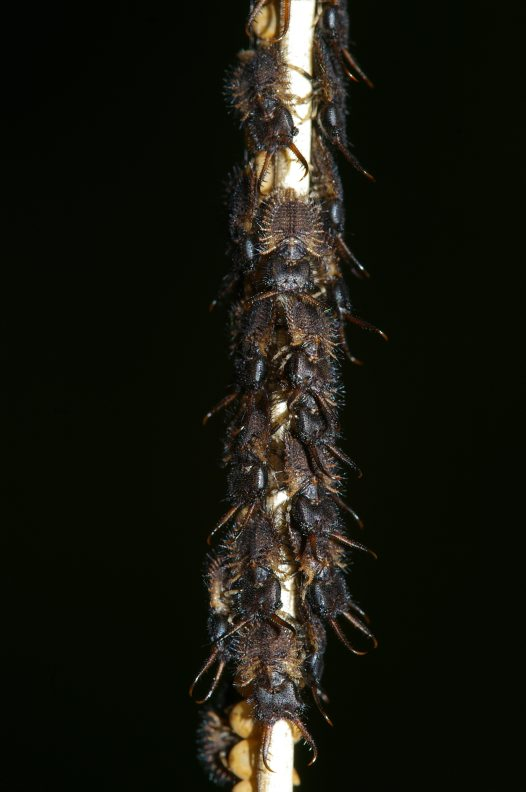Owlfly first instar larvae and egg mass detail