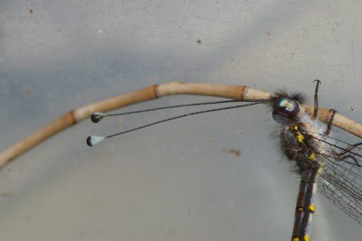 Detail of head of adult owlfly
