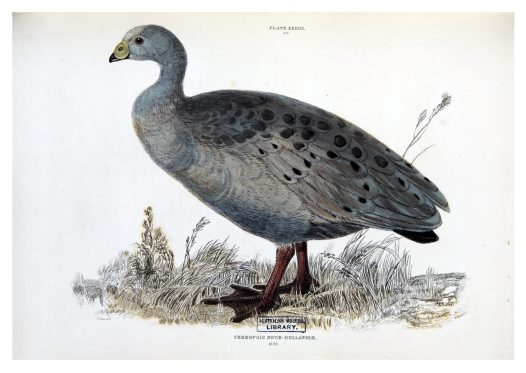 Cape Barren Goose drawn by Edward Lear