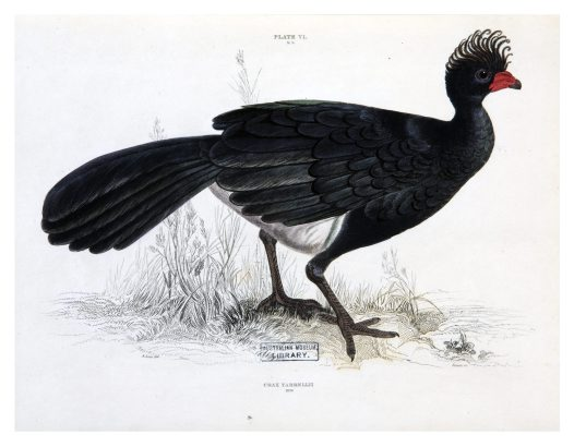 Curassow drawn by Edward Lear