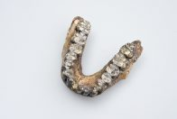 Australopithecus afarensis lower jaw