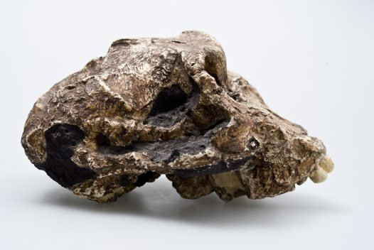 Paranthropus robustus skull side view