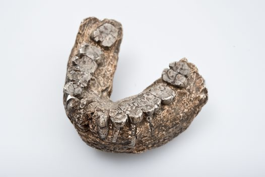 Paranthropus boisei lower jaw