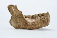 Homo habilis lower jaw