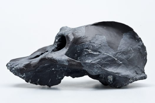 Paranthropus walkeri skull side view