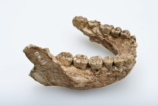 Homo habilis lower jaw angled view