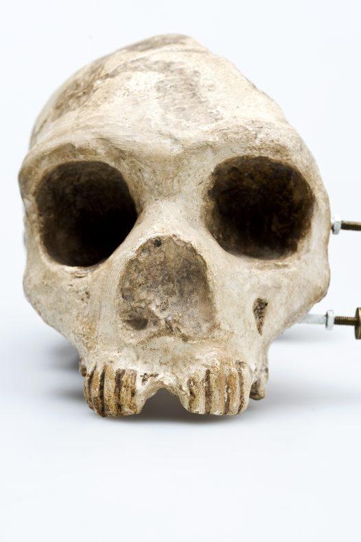 Homo neanderthalensis – The Neanderthals - Australian Museum Homo Sapiens Neanderthalensis Skull