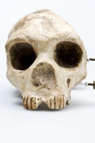 Gibraltar Skull Homo n...