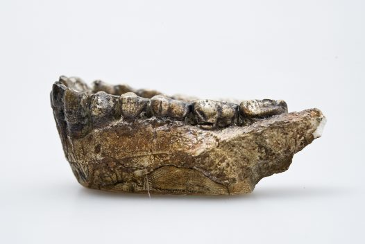 Australopithecus afarensis lower jaw side view