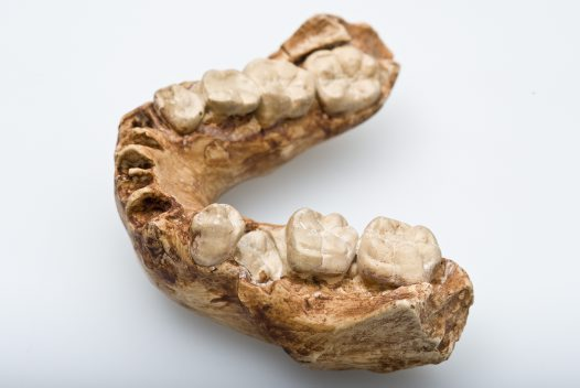 Australopithecus africanus lower jaw angled view