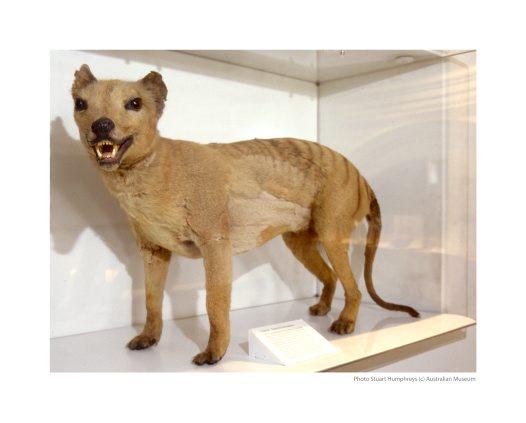 Thylacine Specimen Australian Museum