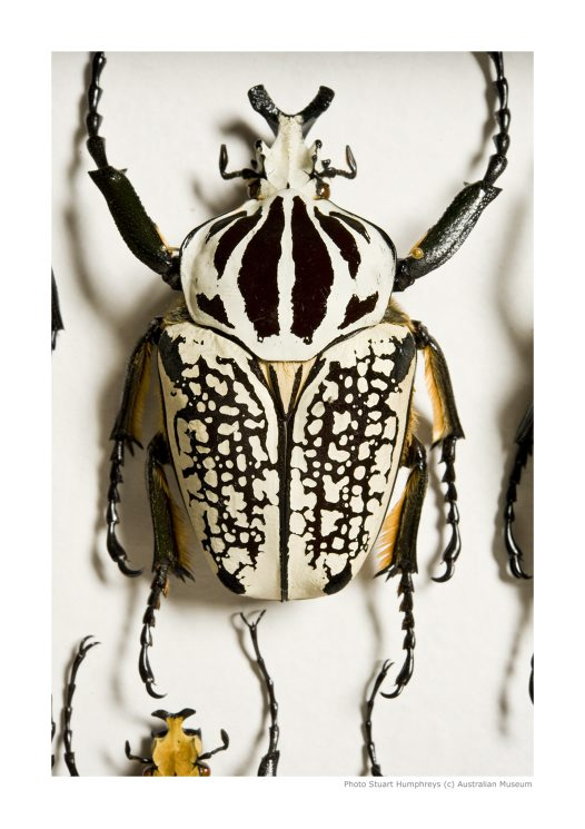 Beetle in Collection