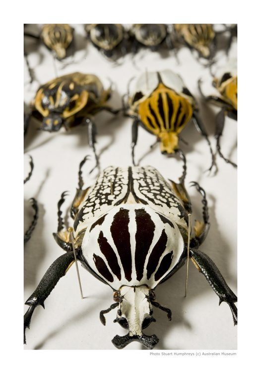 Beetles in Collection