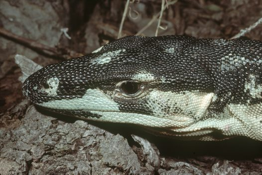 Lace Monitor, head