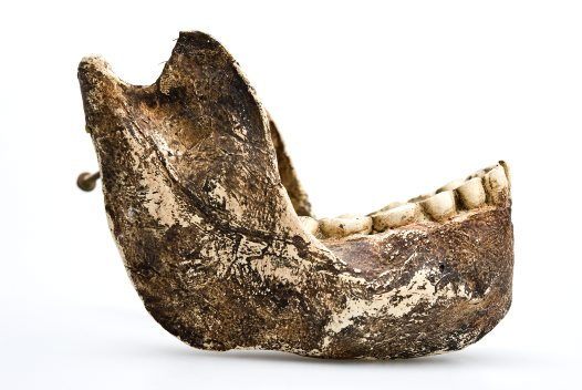 Paranthropus robustus lower jaw side view