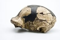 OH 9 Homo ergaster skull side view