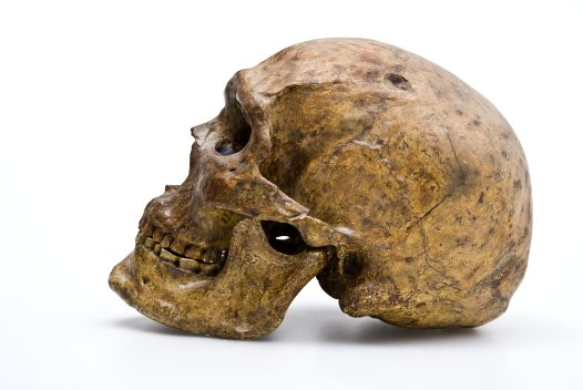 Homo sapiens skull from Zhoukoudian side view