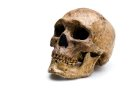 Homo sapiens skull from Zhoukoudian angled view