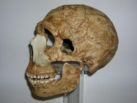 Skull of Homo neanderthalensis Amud 1 side view