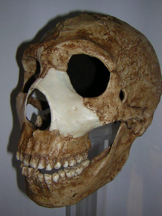 Skull of Homo neandert...