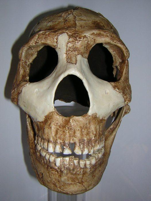 Amud skull of homo neanderthalensis amud 1 front view - australian museum